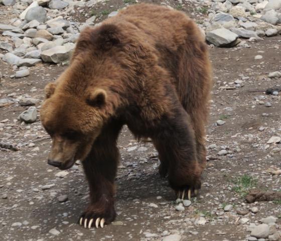 アラスカ動物園 グリスリーベア