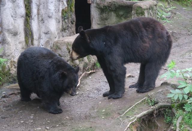 アラスカ動物園 ブラックベア